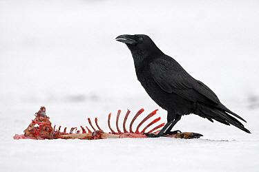 Common Raven (Corvus corax), Saxony-Anhalt, Germany  -  Thomas Hinsche/ BIA
