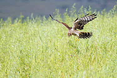 Montagu's Harrier (Circus pygargus) hunting, Extremadura, Spain  -  Mario Suarez Porras/ BIA