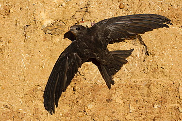 Common Swift (Apus apus), Castile-La Mancha, Spain  -  Mario Suarez Porras/ BIA