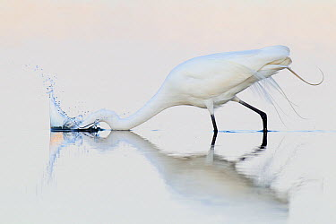 Great Egret (Ardea alba), Florida  -  Jan Wegener/ BIA