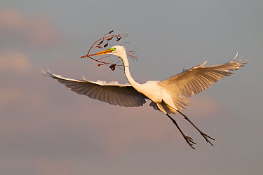 Great Egret (Ardea alba) flying with a twig to its nest, Florida  -  Jan Wegener/ BIA