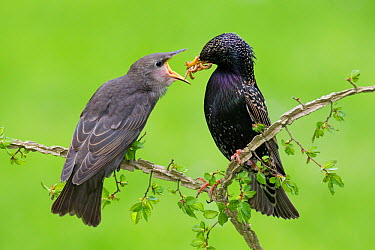 Common Starling (Sturnus vulgaris) feeding its offspring, Brandenburg, Germany  -  Jan Wegener/ BIA