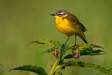 Blue-headed Wagtail (Motacilla flava), Brandenburg, Germany  -  Jan Wegener/ BIA