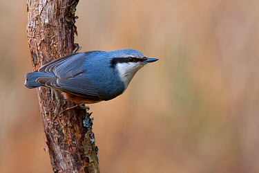 Wood Nuthatch (Sitta europaea), Brandenburg, Germany  -  Jan Wegener/ BIA