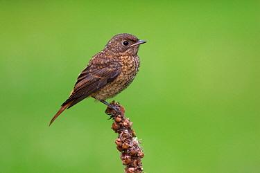 Common Redstart (Phoenicurus phoenicurus) juvenile, Berlin, Germany  -  Jan Wegener/ BIA
