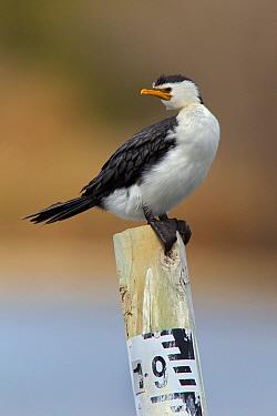 Little Pied Cormorant (Microcarbo melanoleucos), New South Wales, Australia  -  Jan Wegener/ BIA