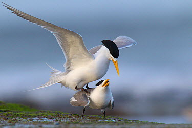 Greater Crested Tern (Thalasseus bergii) male mounting female in courting display, Melbourne, Australia  -  Jan Wegener/ BIA