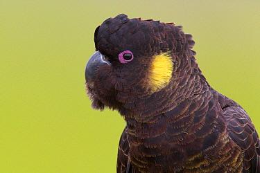 Yellow-tailed Black-Cockatoo (Calyptorhynchus funereus), Australia  -  Jan Wegener/ BIA