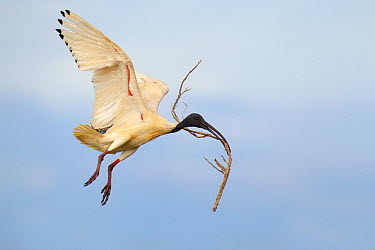 Australian Ibis (Threskiornis moluccus) carrying branch to nest, Melbourne, Australia  -  Jan Wegener/ BIA