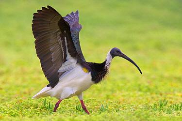 Straw-necked Ibis (Threskiornis spinicollis), Victoria, Australia  -  Jan Wegener/ BIA