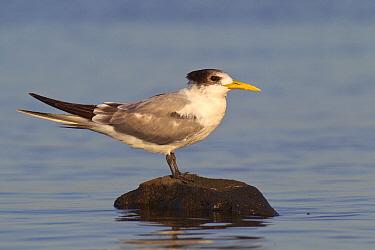 Greater Crested Tern (Thalasseus bergii), Melbourne, Australia  -  Jan Wegener/ BIA