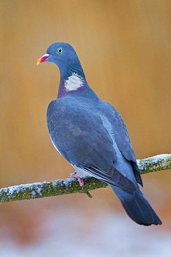 Common Wood-pigeon (Columba palumbus), Berlin, Germany  -  Jan Wegener/ BIA