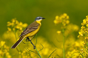 Blue-headed Wagtail (Motacilla flava), Schleswig-Holstein, Germany  -  Peter Hering/ BIA