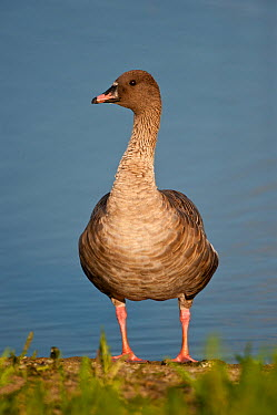 Pink-footed Goose (Anser brachyrhynchus), Schleswig-Holstein, Germany  -  Peter Hering/ BIA