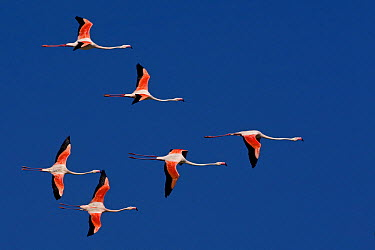 European Flamingo (Phoenicopterus roseus) flock flying, Camargue, France  -  Thomas Hinsche/ BIA
