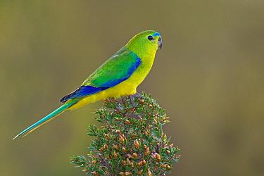 Orange-bellied Parrot (Neophema chrysogaster), Tasmania, Australia  -  Jan Wegener/ BIA
