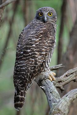 Powerful Owl (Ninox strenua), Australia  -  Paul Randall/ BIA
