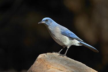 Mexican Jay (Aphelocoma wollweberi), Arizona  -  E.J. Peiker/ BIA