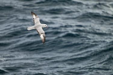 Southern Fulmar (Fulmarus glacialoides), Antarctica  -  E.J. Peiker/ BIA