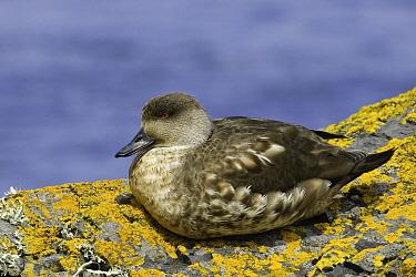 Crested Duck (Lophonetta specularioides), Falkland Islands  -  E.J. Peiker/ BIA