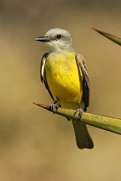 Couch's Kingbird (Tyrannus couchii), Texas  -  E.J. Peiker/ BIA
