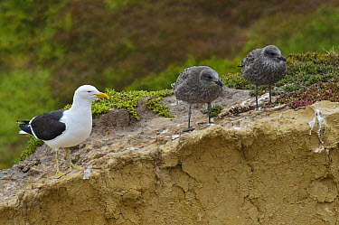Kelp Gull (Larus dominicanus) adult and two juveniles, New Zealand  -  E.J. Peiker/ BIA