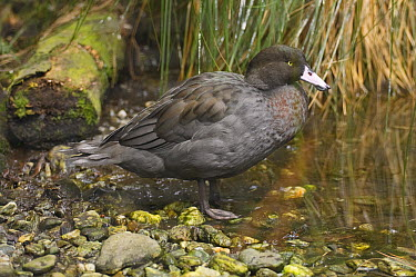 Blue Duck (Hymenolaimus malacorhynchos), New Zealand  -  E.J. Peiker/ BIA
