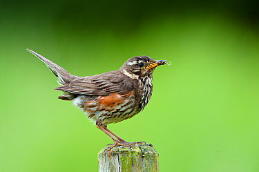 Redwing (Turdus iliacus), Iceland  -  Peter Hering/ BIA