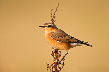 Northern Wheatear (Oenanthe oenanthe), Schleswig-Holstein, Germany  -  Peter Hering/ BIA