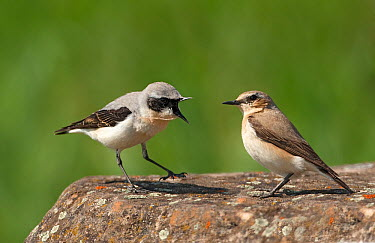 Northern Wheatear (Oenanthe oenanthe) male and female  -  Rosl Roessner/ BIA