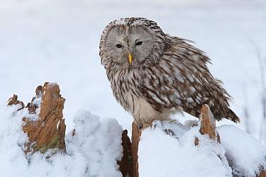 Ural Owl (Strix uralensis), Rhineland-Palatinate, Germany  -  Rosl Roessner/ BIA