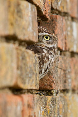 Little Owl (Athene noctua) peeking from hole in brick wall, Rhineland-Palatinate, Germany  -  Rosl Roessner/ BIA