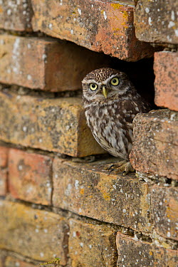 Little Owl (Athene noctua) in hole in brick wall, Rhineland-Palatinate, Germany  -  Rosl Roessner/ BIA