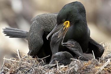 European Shag (Phalacrocorax aristotelis) feeding its chick, Scotland  -  Rosl Roessner/ BIA