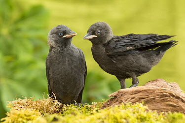 Eurasian Jackdaw (Corvus monedula) juveniles, Rhineland-Palatinate, Germany  -  Rosl Roessner/ BIA