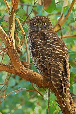Powerful Owl (Ninox strenua), Victoria, Australia  -  Jan Wegener/ BIA