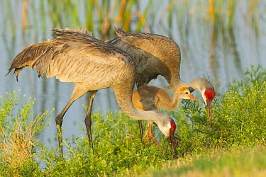 Sandhill Crane (Grus canadensis) adults and juvenile foraging, Florida  -  Rosl Roessner/ BIA