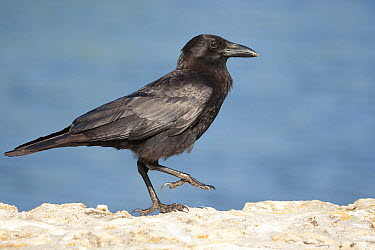 American Crow (Corvus brachyrhynchos), Florida  -  Rosl Roessner/ BIA
