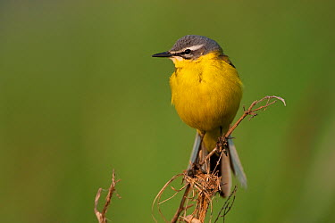 Blue-headed Wagtail (Motacilla flava) male, Brandenburg, Germany  -  Jan Wegener/ BIA