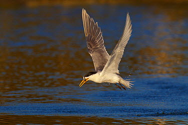 Greater Crested Tern (Thalasseus bergii) with a caught fish, Victoria, Australia  -  Jan Wegener/ BIA