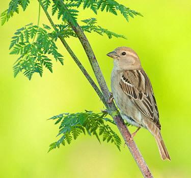 Spanish Sparrow (Passer hispaniolensis) female, Lesvos, Greece  -  Rosl Roessner/ BIA