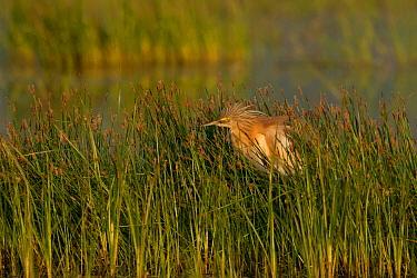 Squacco Heron (Ardeola ralloides), Lesvos, Greece  -  Rosl Roessner/ BIA