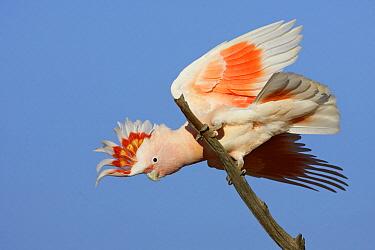 Major Mitchell's Cockatoo (Lophochroa leadbeateri), Queensland, Australia  -  Rob Drummond/ BIA