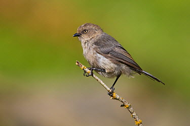 Bushtit (Psaltriparus minimus) female, British Columbia, Canada  -  Glenn Bartley/ BIA