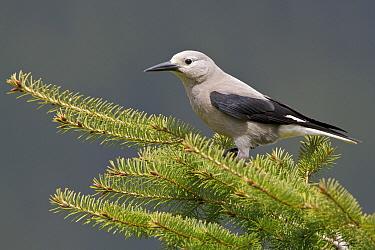 Clark's Nutcracker (Nucifraga columbiana), British Columbia, Canada  -  Glenn Bartley/ BIA