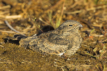 Common Nighthawk (Chordeiles minor), British Columbia, Canada  -  Glenn Bartley/ BIA