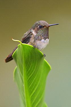 Volcano Hummingbird (Selasphorus flammula) male, Costa Rica  -  Glenn Bartley/ BIA