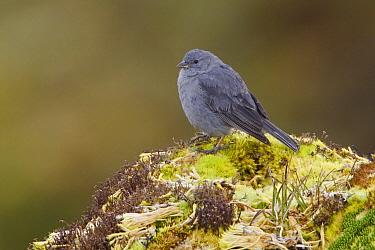 Plumbeous Sierra-Finch (Phrygilus unicolor), Ecuador  -  Glenn Bartley/ BIA