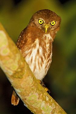 Ferruginous Pygmy Owl (Glaucidium brasilianum), Ecuador  -  Glenn Bartley/ BIA