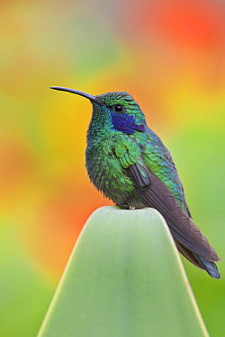 Green Violet-ear (Colibri thalassinus), Costa Rica  -  Glenn Bartley/ BIA